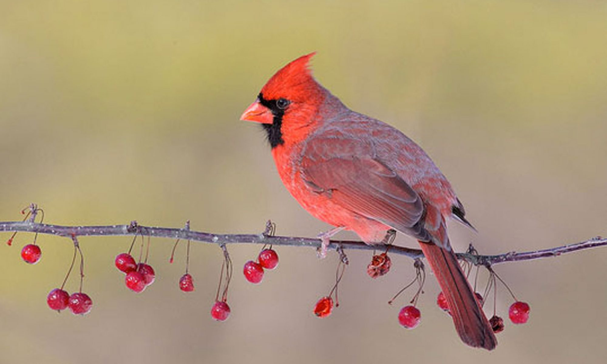 Eating Cardinals